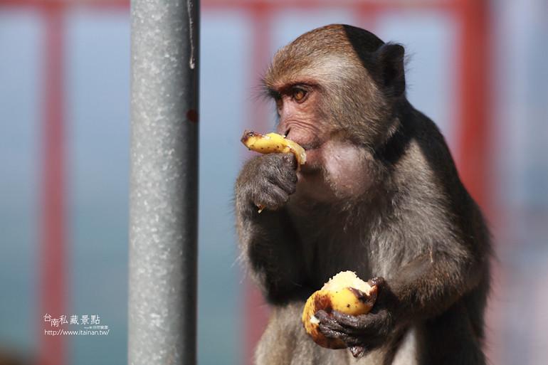 台南私藏景點-南化烏山獼猴 (26)