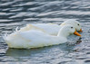 2013-12-11, Kastle Ducks-5 by falon_167