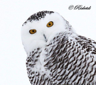 harfang des neiges- snowy owl ( Richard)