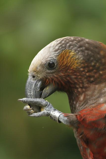 New Zealand Kaka