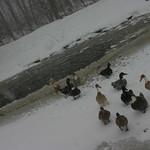 Polar bear club of ducks