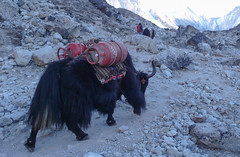 Transport jakiem do Everest B.C.