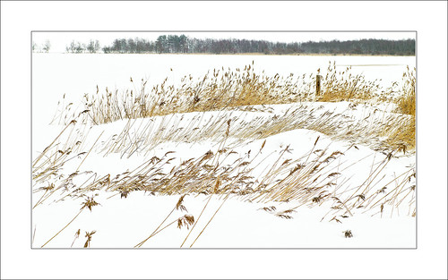 Common reed in winter 1.