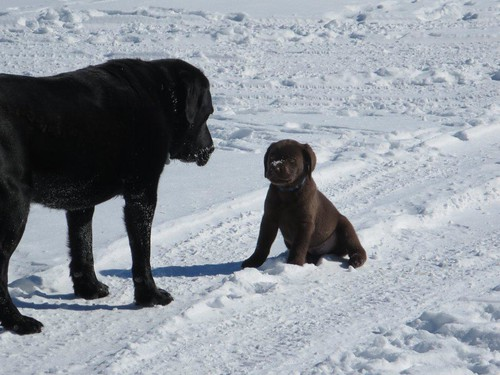 Talisker out for his first walk in the snow with Doindogs Syke.
