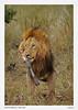 Lion-Zebra-Kill
