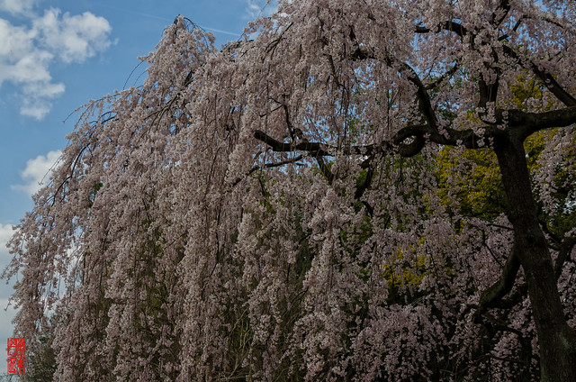 「大枝垂れ」 京都御苑 - 京都