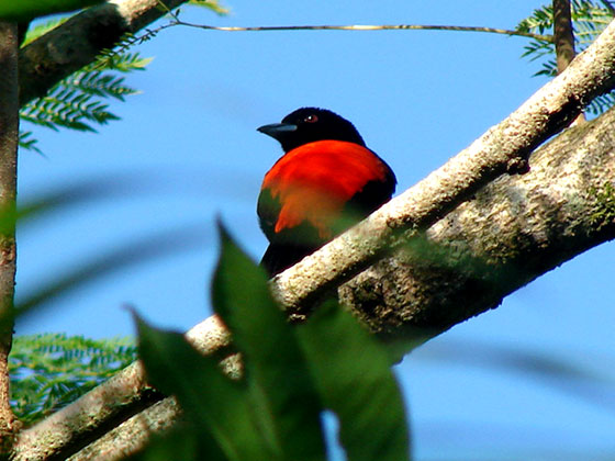 a-red-backed-something-or-other