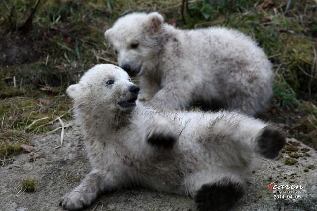 Eisbärenzwillinge 2014_04_05 049