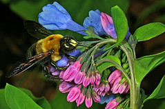 Bluebells with Carpenter Bee, by Judy Gallagher