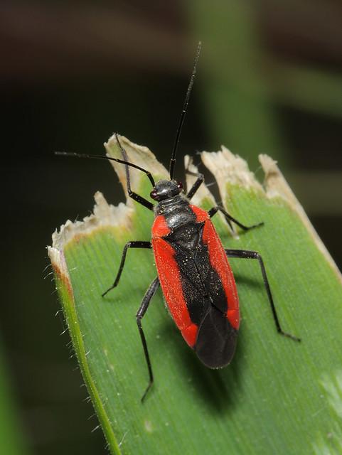 Dionconotus neglectus