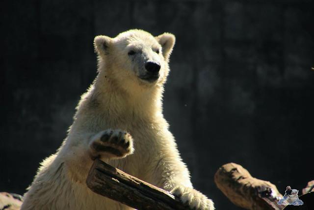 Eisbär Fiete im Zoo Rostock 11.07.2015  031
