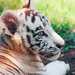 Panthera Tigris by Isaac Staunton