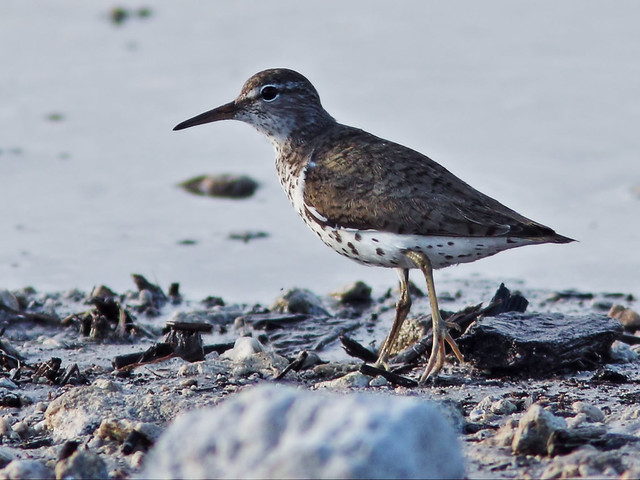 Spotted Sandpiper 8-20150729