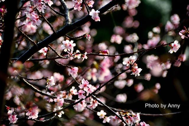 麗池櫻花40