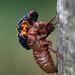 Molting cicada by Kathy_Grant