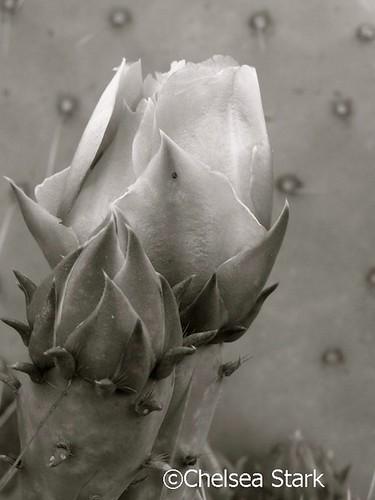 Cactus flower ©ChelseaStarkhttp://www.chelseastarkphotography.com by chelseastarkphotography.com