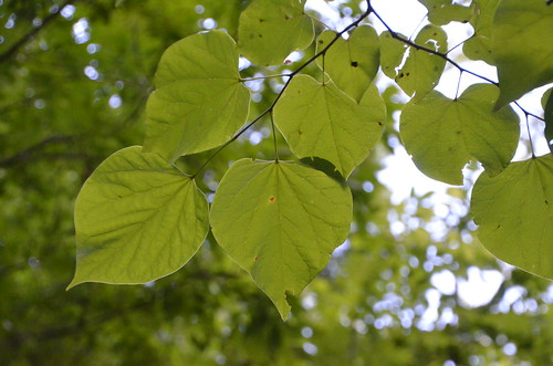 """Heart"" Leaves"