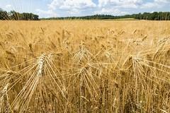 emmer, prairie, agriculture, triticale, einkorn wheat, rye, food grain, field, barley, wheat, crop, cereal, grassland,