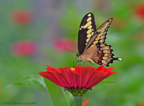 Swallowtail on a Zinnia