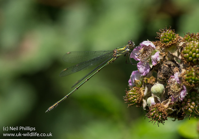 Willow emerald damselfly Lestes viridis-14