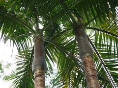 Archontophoenix cunninghamiana, Arecaceae