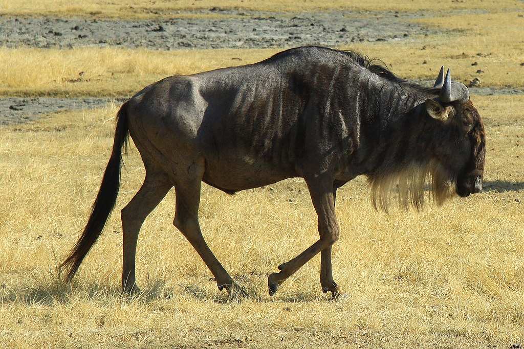 White-bearded Wildebeest