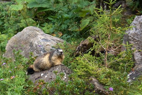 A marmot looks on with curiosity