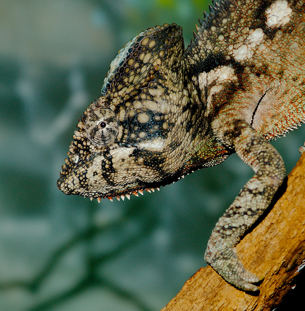 Malagasy Giant Chameleon (Furcifer oustaleti)_3