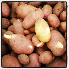 Pommes de terre Désirée et Ditta