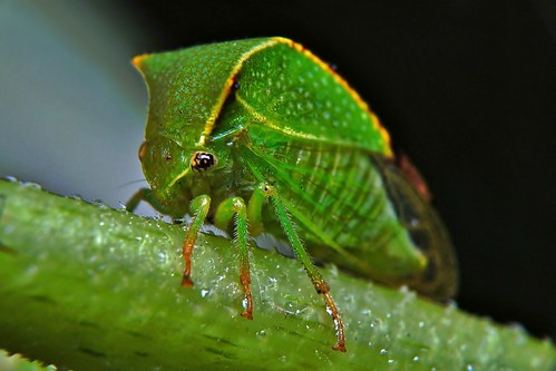 Buffalo treehopper - Stictocephala bisonia