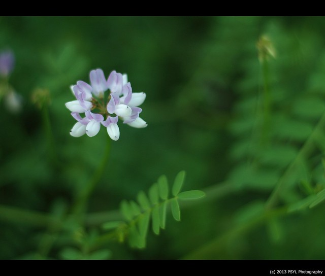 Crown vetch (Securigera varia)