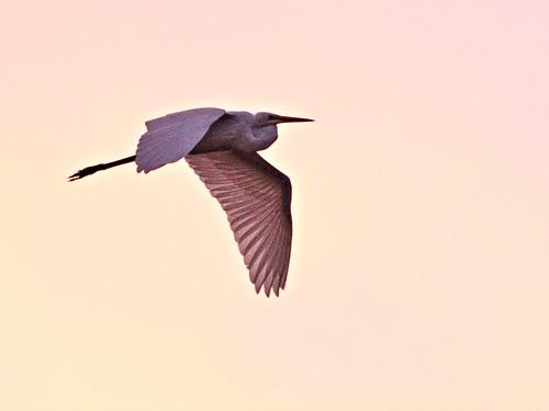 Great Egret at sunrise 20131003