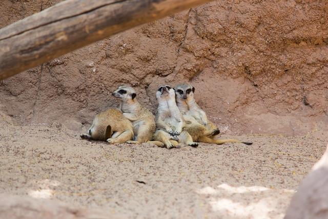 Bioparc Fuengirola Mangusti Mongoose