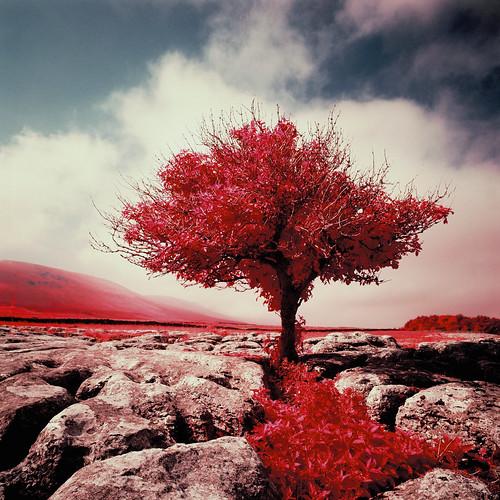 Tree in Ribblehead