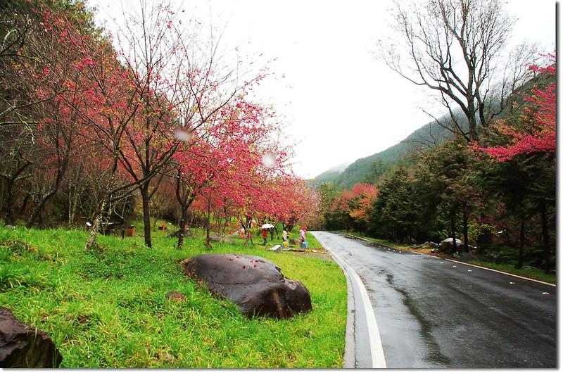 武陵花季 1