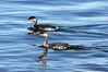 Eared Grebes (Podiceps nigricollis). Oct 9, 2013, Mono Lake, Mono Co., CA