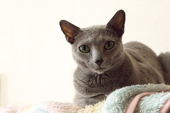 peterbald(0.0), chartreux(0.0), tonkinese(0.0), egyptian mau(0.0), devon rex(0.0), ocicat(0.0), domestic short-haired cat(0.0), animal(1.0), small to medium-sized cats(1.0), pet(1.0), mammal(1.0), burmilla(1.0), european shorthair(1.0), fauna(1.0), close-up(1.0), cat(1.0), korat(1.0), burmese(1.0), whiskers(1.0), russian blue(1.0),