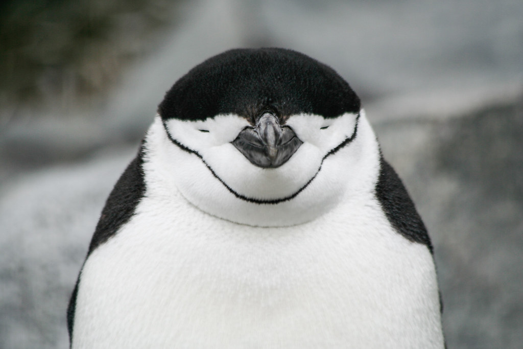 Sleepy chinstrap penguin