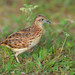 Small Buttonquail 2