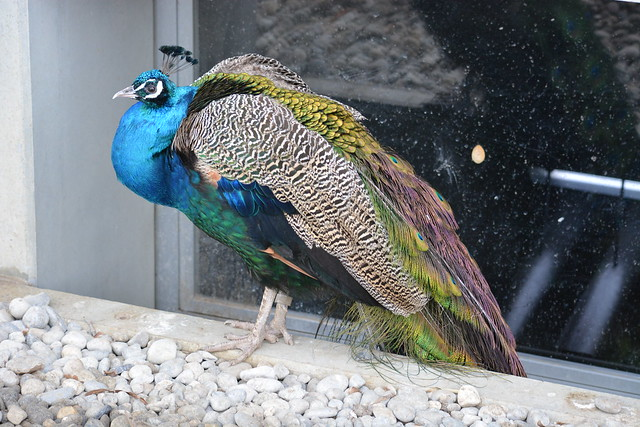 Blauer Pfau, Zoo Zürich