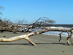 089 Washed out trees Hunting Island SP SC 6697