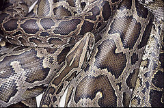 蟒蛇保育聯盟表示,蟒蛇養殖可能是打擊蟒蛇皮黑市的方法之一。(圖片來源:Dick Culbert)