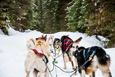 dog(1.0), winter(1.0), vehicle(1.0), pet(1.0), dog walking(1.0), dog sled(1.0), sled dog racing(1.0),