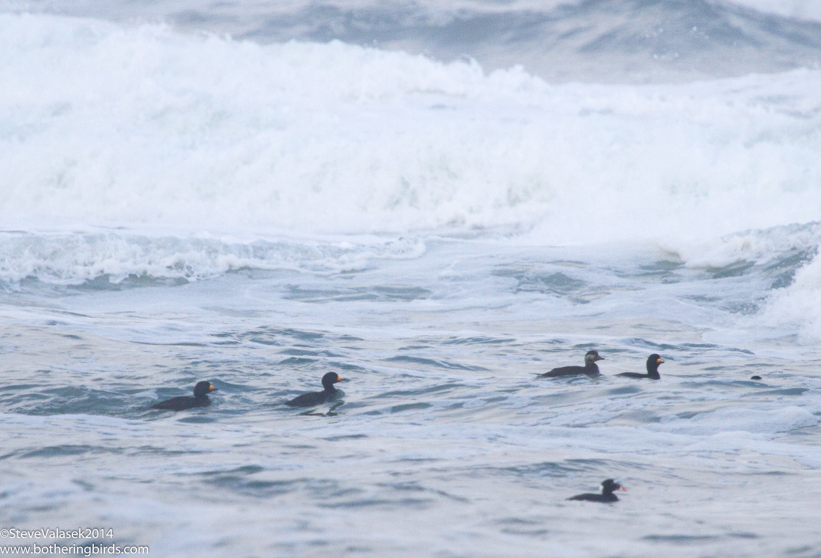 Black Scoters