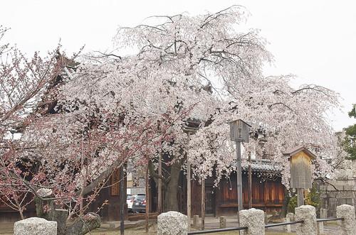 【写真】桜 : 妙覚寺