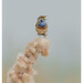 Blauwborst / Bluethroat / Gorge bleue by Gladys Klip