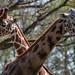 Girafes by sebastienpeguillou