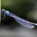 Blaue Federlibelle by delopafoto