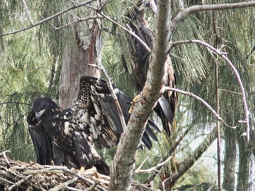 Bald Eaglets 6-20140413
