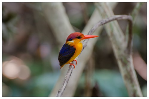 Three-toed Kingfisher